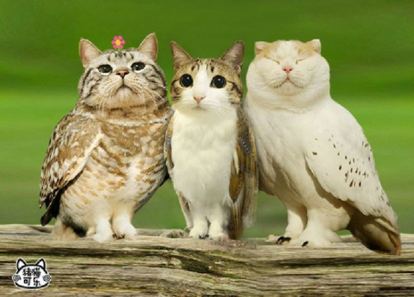 Cat-and-Owl-Combine-Meowl-1-600x431