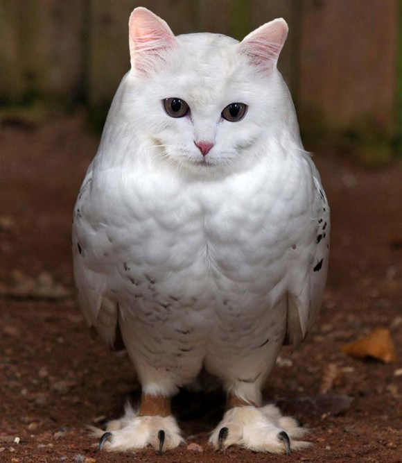Cat-and-Owl-Combine-Meowl-2