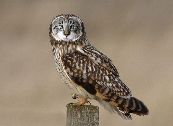 Cat-and-Owl-Combine-Meowl-7