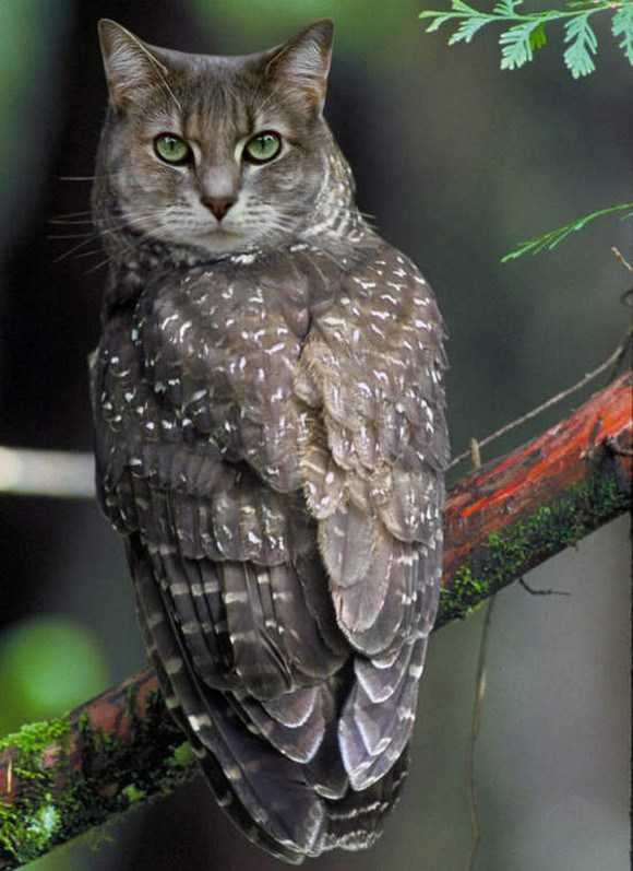 Cat-and-Owl-Combine-Meowl-8
